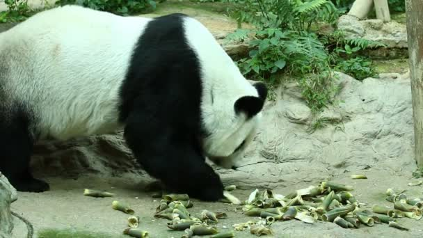 Close up big panda in  Chiangmai   Thailand