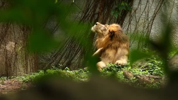 lev ležel v Chiangmai Thajsku