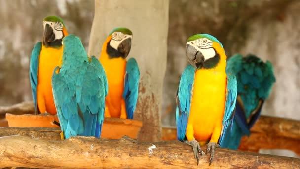 Macaw madár Chiangmai Thaiföld.