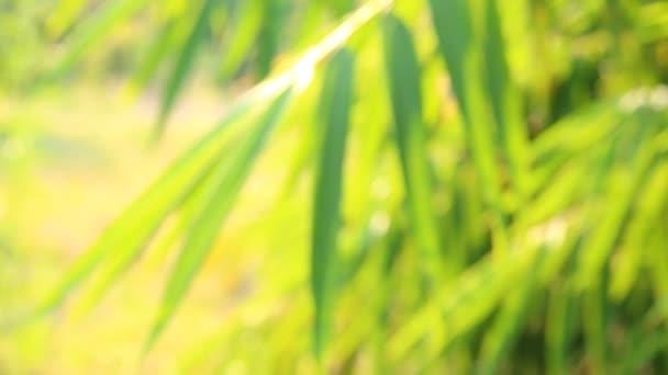 Homályos bambusz levelek napfénnyel este Chiangmai Thaiföld