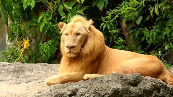 Velký lev ležel v Chiangmai Thajsku