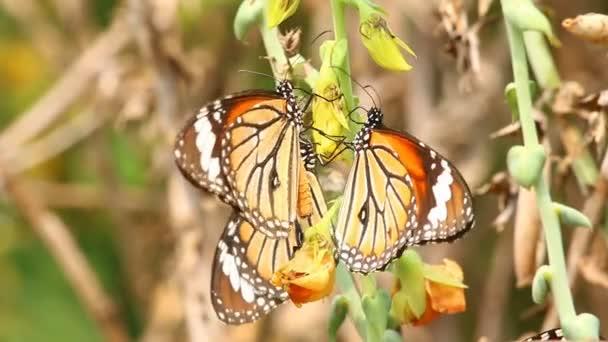 Motýl jíst pylu květin, venkovní Chiangmai Thajsko