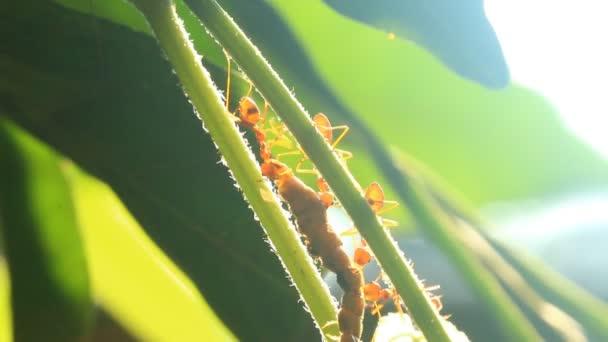 Ameisen beißen Gebet auf Baum, vor der Tür Chiangmai Thailand