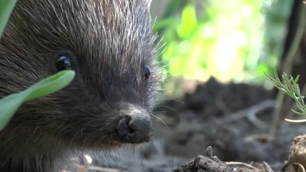 Egy élő sündisznó csóválja az orrát és kúszik a fűben élelmet keresve. Szuper Sonic..