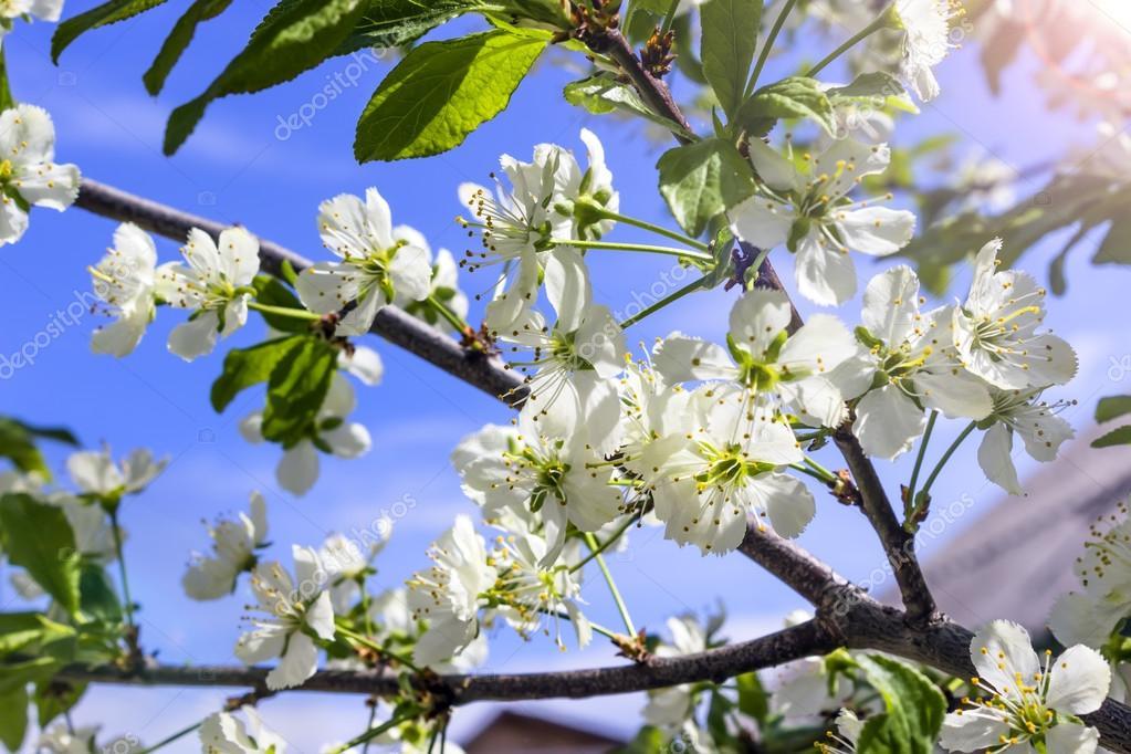 Blühender Baum mit weißen Blüten im Frühjahr — Stockfoto ...