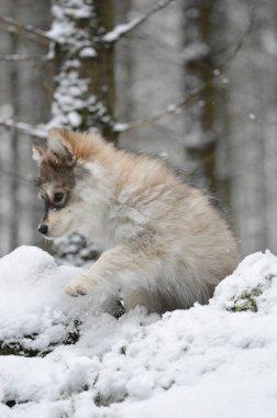 """Картина, постер, плакат, фотообои """"портрет молодого щенка финской лапландской собаки в зимний сезон картины"""", артикул 457392370"""