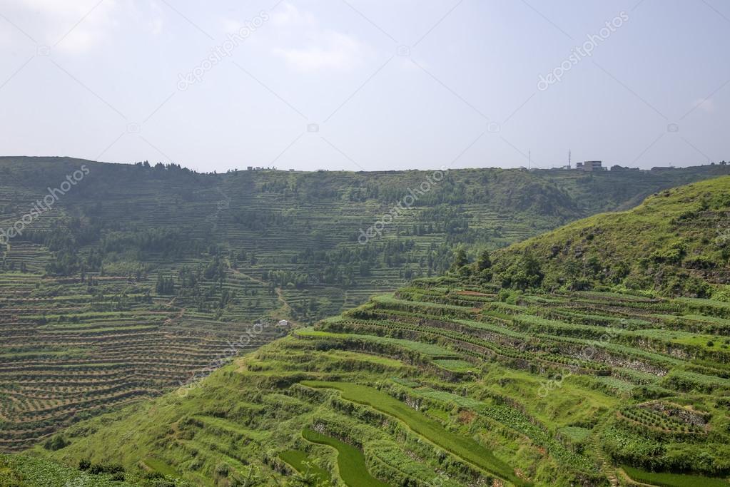 rice or tea plantation