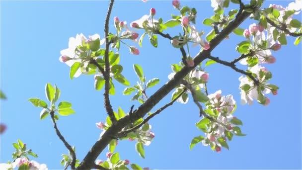 Panoramatický snímek kvetoucí Apple větev slunečný den
