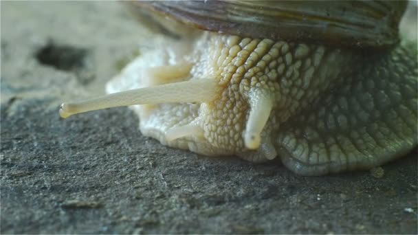 Great Snail Closeup Eyes with Tentacles