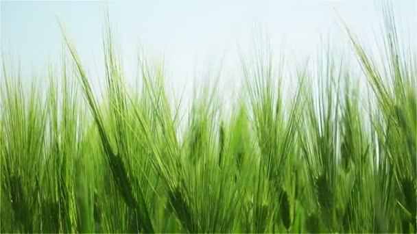 Vrcholy zeleného ječmene vlnící se ve větru za slunného dne v noci