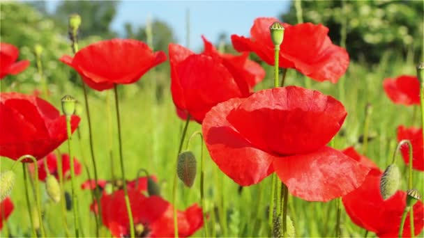 Červený mák květiny na louce za slunečného dne