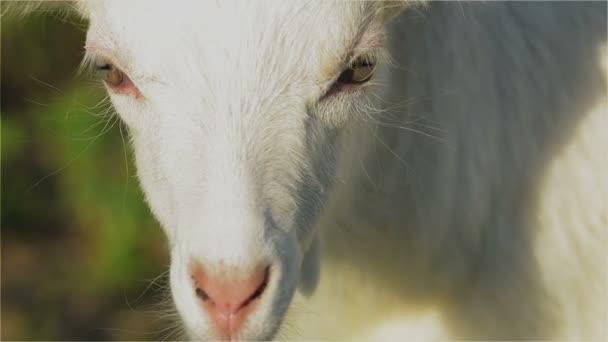Ziege, Goatling, Kiddy, Kid, Schnauze, Augen, weiß, Säugetier, Hörner, Milch, Bauernhof