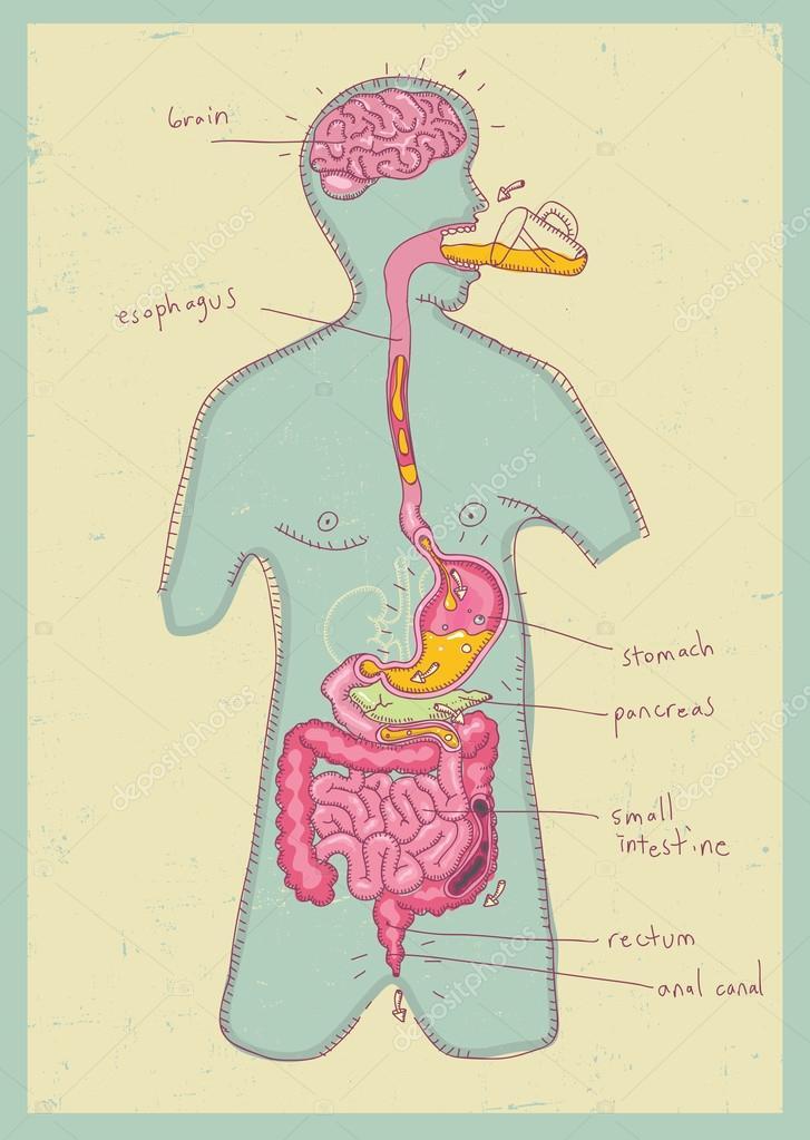 Ilustración de vector de sistema digestivo humano para niños ...