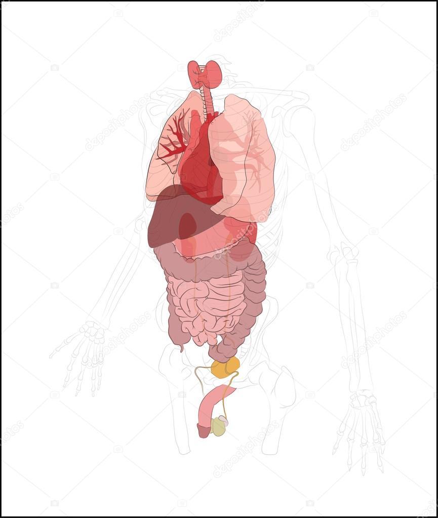 Menschliche Verdauungssystem, Magen-Darm-Trakt oder Verdauungskanal ...