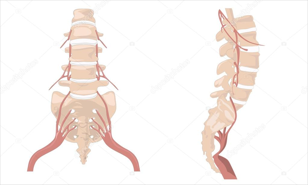 The Spinal Column The Spinal Column Diagram Human Spine From S
