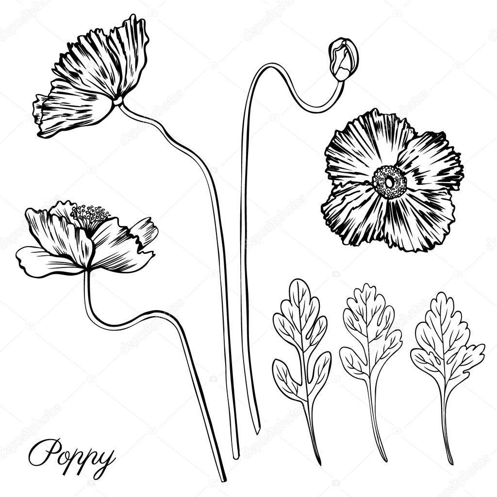 Poppy Flower Bud Leaves Vector Engraving Sketch Hand Drawn Iso