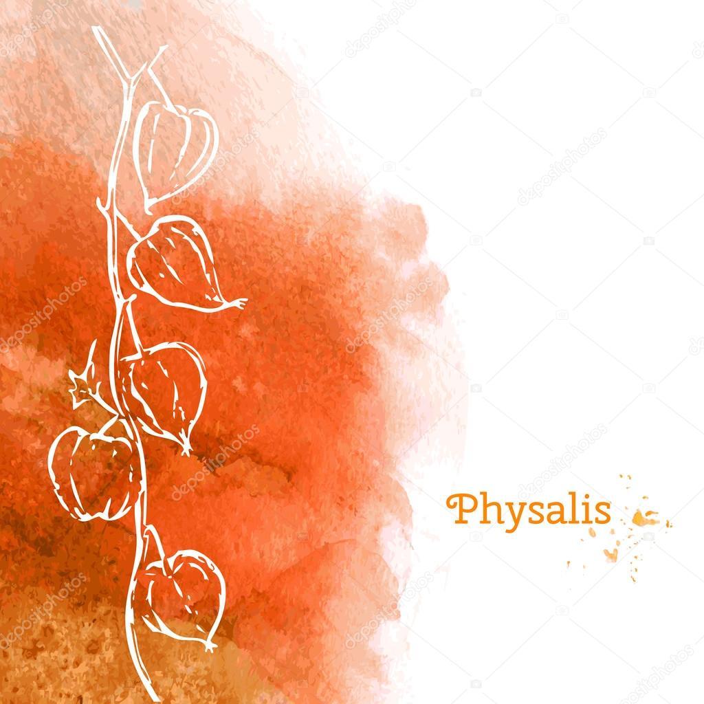 Physalis illustration