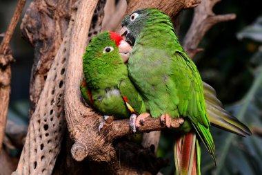 Green Parrot lovebirds