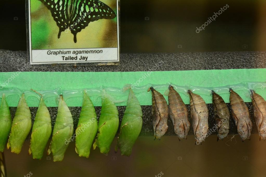 Butterfly cocoons waiting to open.
