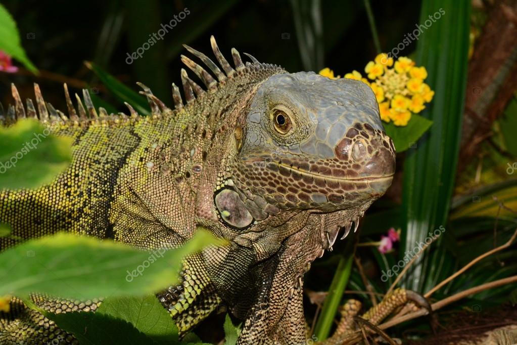 Green Iguana portrait.