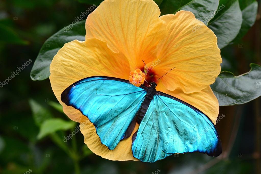 Bộ sưu tập cánh vẩy 6 - Page 5 Depositphotos_92395070-stock-photo-morpho-amathonte-butterfly