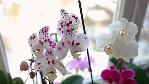 Színes orchideák, phalaenopsis. Virágzó hazai növények. Rózsaszín, piros, lila, narancs, fehér virágok virágzik az ablakpárkányon nő