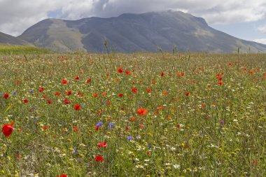 Flower carpet in the Sibillini