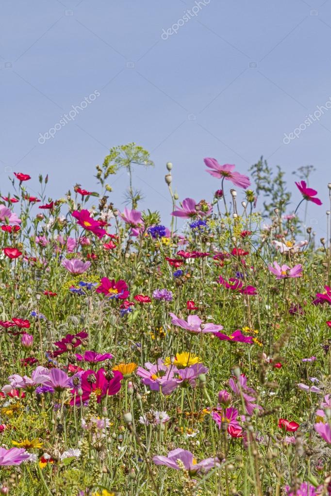 prato di fiori — Foto Stock © Tinieder #79656312