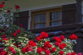 Fotografie Rose Pracht im Sommer