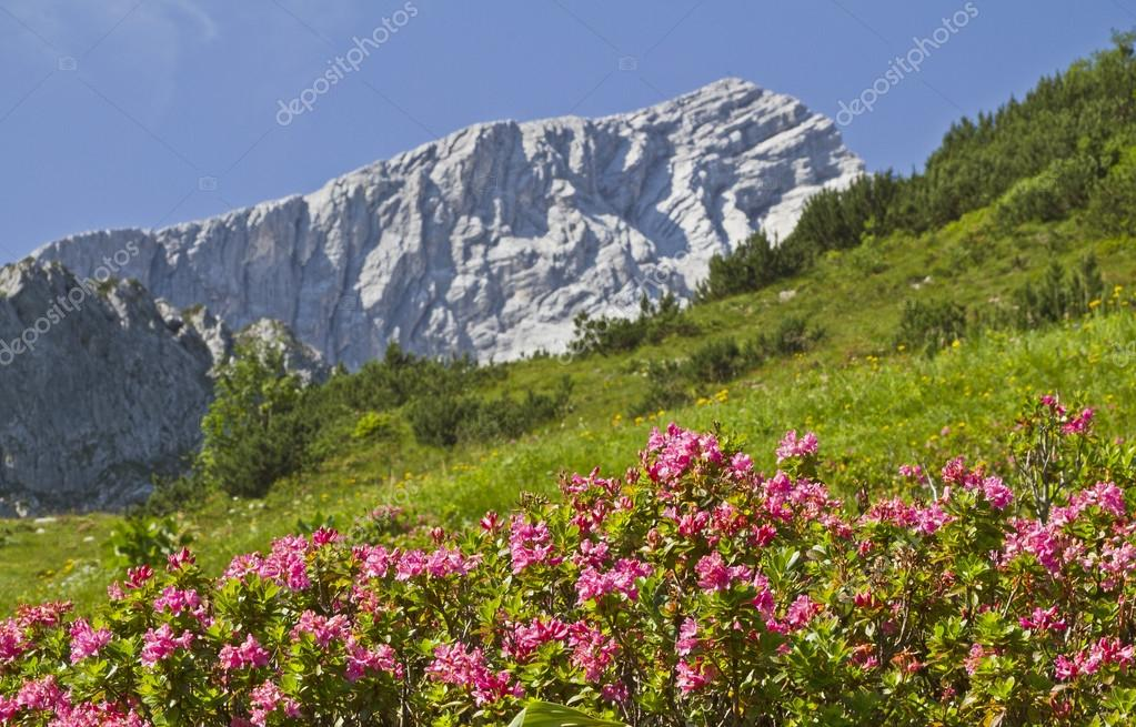 Alpspitze with rhododendrons