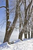 Fotografie Reihe von Treesin winter