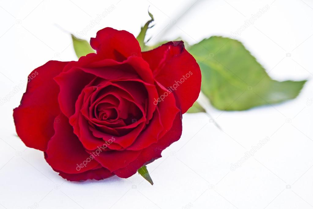 Red Rose A Love Symbol Stock Photo Tinieder 99932292