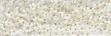White cherry flowers panoramic background
