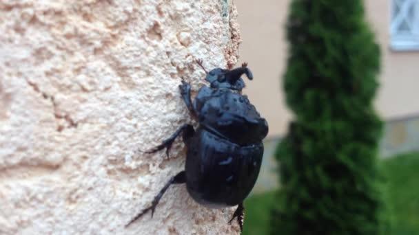Európai orrszarvú bogarat