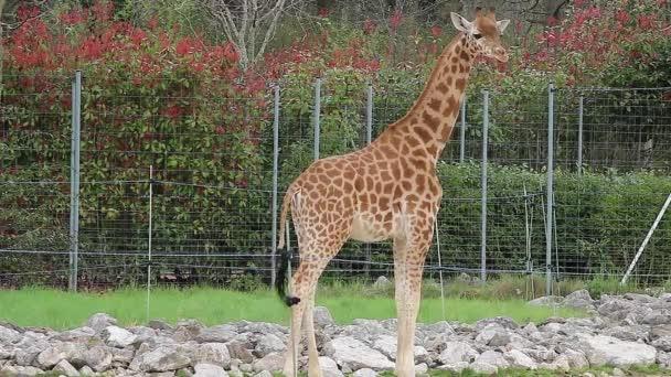 mladé žirafy v zoo
