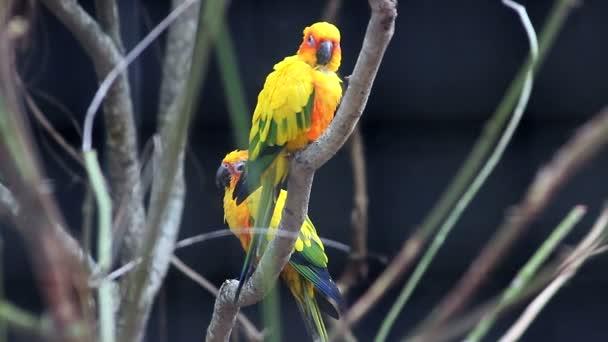 Nádherný pár Sun papouška