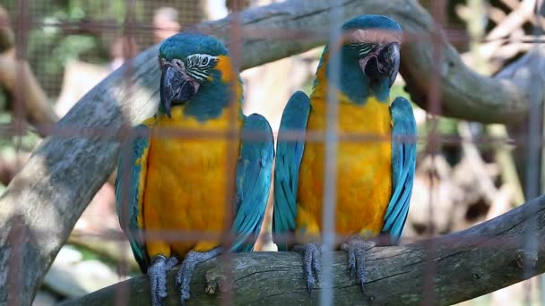 Couple of Beautiful Blue And Yellow Macaw Parrots
