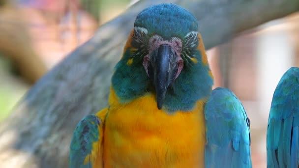 modré a žluté papoušek closeup