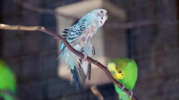 Budgerigar Couple on a tree Branch