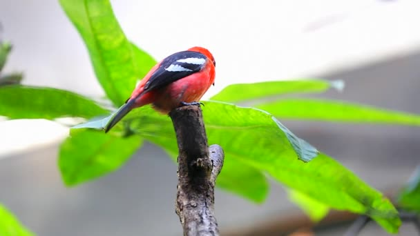 Tanager alibianche