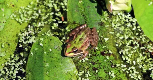 Makro eines kleinen Wasserfroschs in einem Teich, Sumpffrosch (Pelophylax Ridibundus) aus nächster Nähe - DCi 4K Auflösung