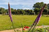 Kvetoucí fialové prérie planoucí hvězda (Liatris pycnostachya) květiny v parku