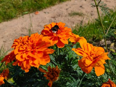 Bumblebee collecting pollen on orange Mexican marigold flowers in garden