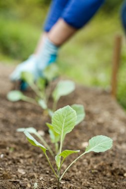 Broccoli seedlings with gardener in the background