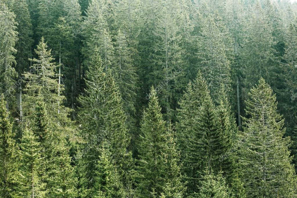Verde Bosque De Coníferas Con
