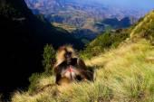 Fotografie Gelada baboon