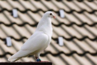 White dove on breeding cage