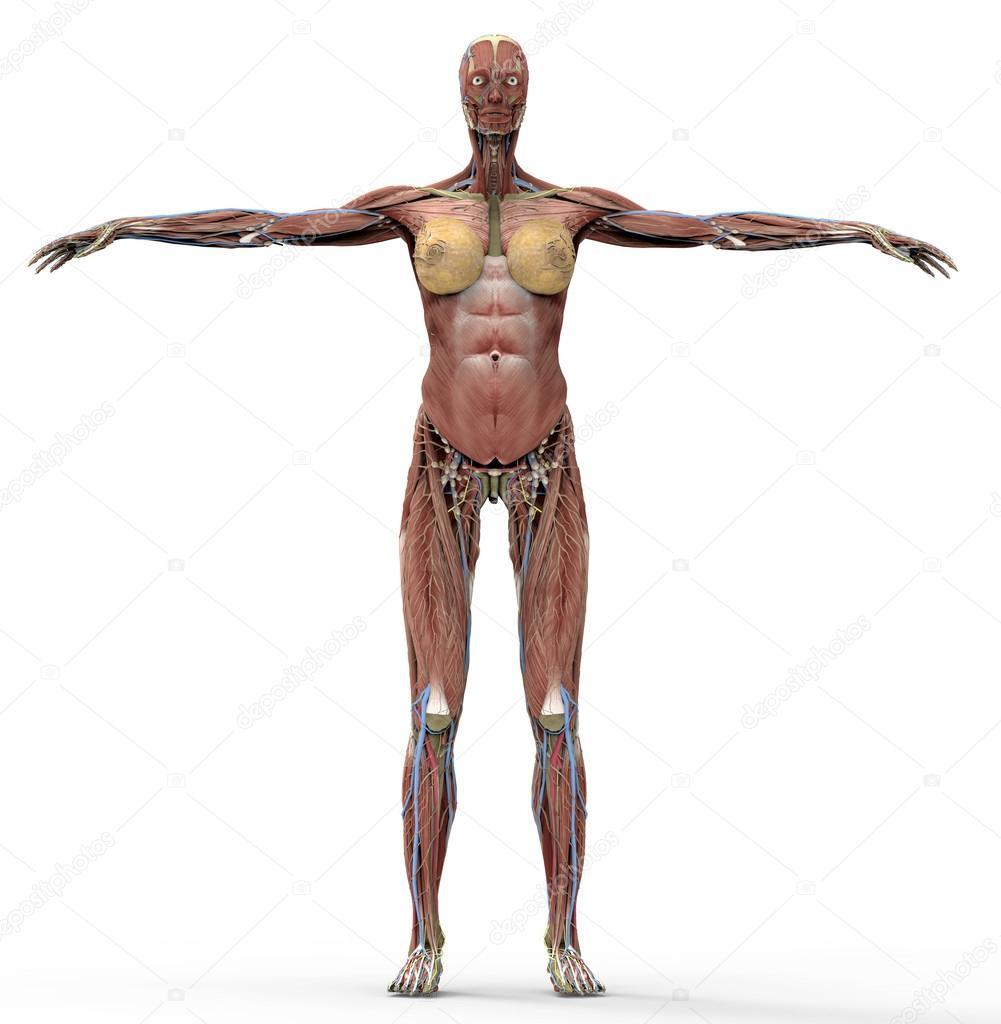 Anatomie einer Frau auf weiß mit Beschneidungspfad — Stockfoto ...