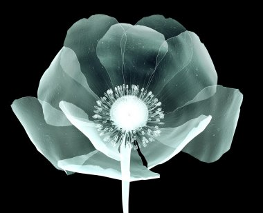 x-ray image of a flower isolated on black , the poppy