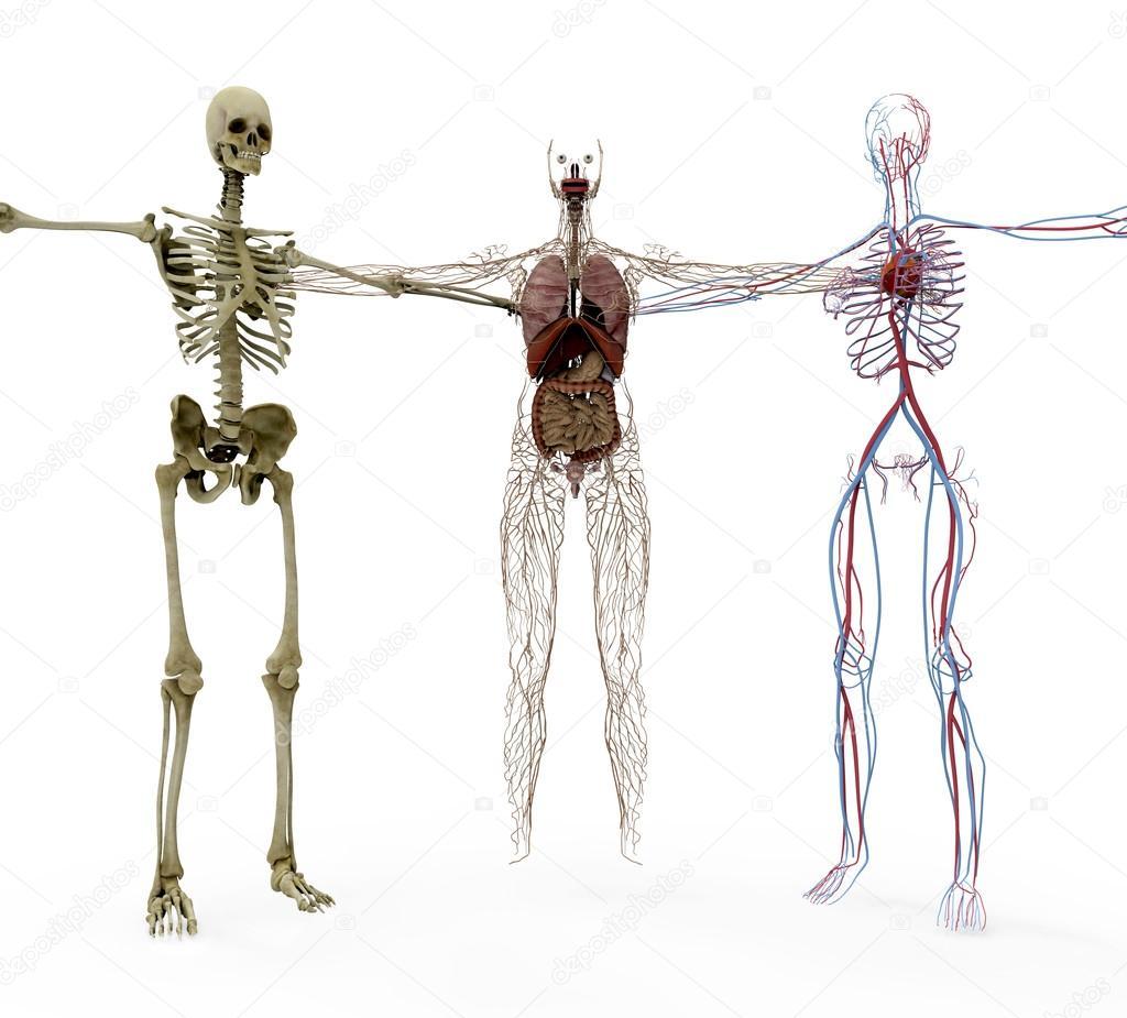 Anatomia humana em ossos, órgãos e vasculair — Fotografia de Stock